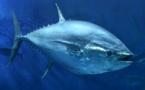 Ouverture de la pêche au thon rouge de Méditerranée pour les Palangriers et Cannes Ligne non Exclusif (titulaire de l'AEP)