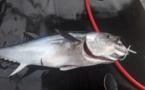 Belle prise, ce magnifique Thon Rouge de Méditérranée pêché à la palangre par le pêcheur professionnel, Jean Do Marras, titulaire de l'AEP TRMCL