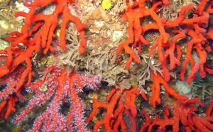 Demande d'autorisation de pêche au corail